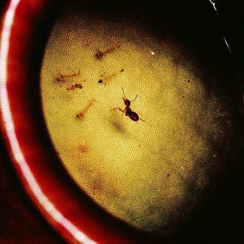 муравей и цветы хищники