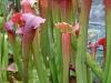 Плотоядное растение саррацения с красноватой верхушкой