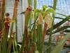 Самое неприхотливое растение хищник саррацения
