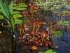 Саррацения растет на болоте