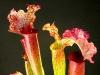 Шикарное растение хищник саррацения