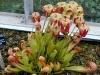 Растение хищник саррацения ещё и цветет