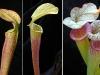 Насекомоядный цветок саррацения шикарный подарок на романтический вечер
