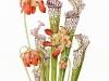 Цветы саррацении настолько красивы что делают красивыми всех, кто на них смотрит