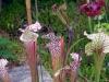Прекрасный цветок хищник саррацения украсит ваш дом , сад или офис