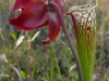 Саррацения прекрасный выбор цветка для сада и оранжереи