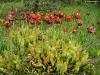 Саррацения встречается в природе на болотах Северной Америки