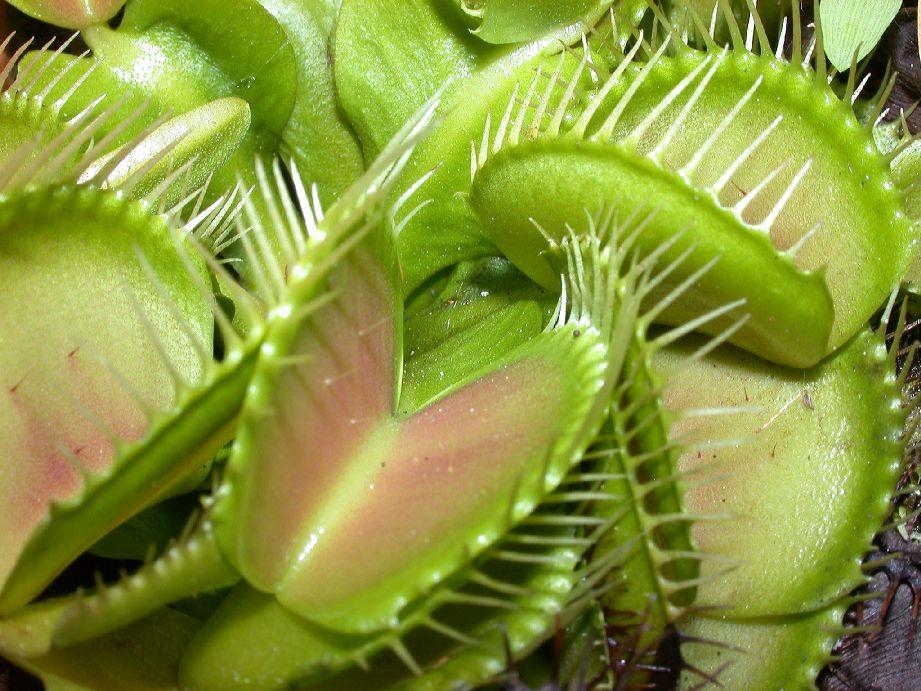 Купить растение которое ест мух, заказ химки композиции