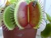 Подруга венериной мухоловки и непентеса – саррацения