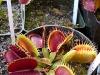 Самый крутой монстр среди всех растений – венерина мухоловка