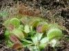 Кровожадное растение – убийца – венерина мухоловка