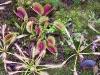Венерина мухоловка и её сестра по хищному клану растений росянка