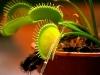 Цветок монстр венерина мухоловка