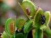 Капканы Дианеи поймали насекомых