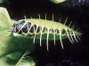 Борьба за выживание с венериной мухоловкой