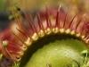 Закрытая ловушка венериной мухоловки