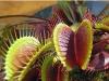 Яркие сочные ловушки Дианеи