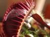 Ярко красная Венерина мухоловка