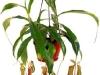 Хищное растение непентес лучше растет в подвешенном виде