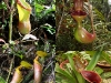Растение хищник непентес чудесный друг для домашних потех