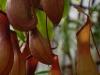 Шикарный цветок хищник – непентес