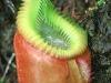 Говорят –хищное растение, подразумевают –Непентес