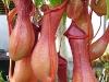 Говорят – Непентес, подразумевают – хищное растение