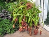 Каким бы хищным растением непентес не был, человека он не съест