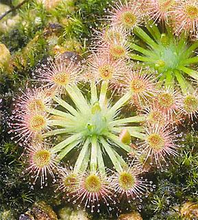 Чудесное растение хищник росянка