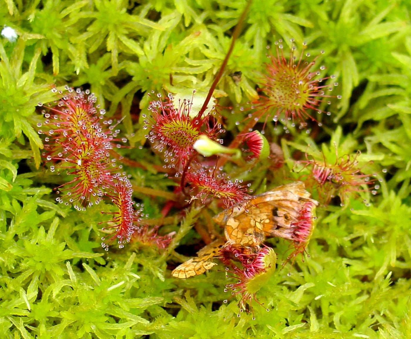 На болотах всего мира растет хищное растение росянка