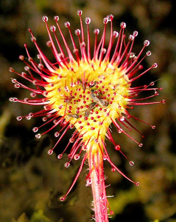 Хищное растение росянка ловит насекомых