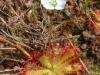 Цветущая росянка