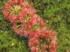 Очень красивый хищный цветок – росянка