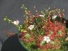 Хищный цветок росянка очень красиво цветет