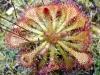 Самых распространенный в мире цветок хищник – росянка