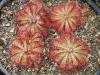 Четыре оболденно красивых росянки в одном горшке