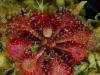 Плотоядное растение росянка