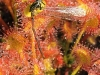 Стрекоза прилипла к росинкам липучек хищного растения – росянки
