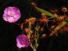Все хотят себе хищное растение – росянку