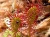 Растение хищник росянка поймала жертву