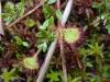 Хищное растение с липучками – росянка