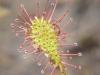 Необыкновенно красивые красные липучки росянки