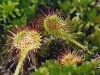 Непредсказуемый монстр – растение хищник росянка