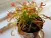 Росянка – цветок который ловит себе пищу