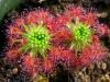 На хищное растение росянку можно любоваться бесконечно
