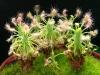 Увлекательность выращивания росянки доставляют удовольствие и дарят отдых