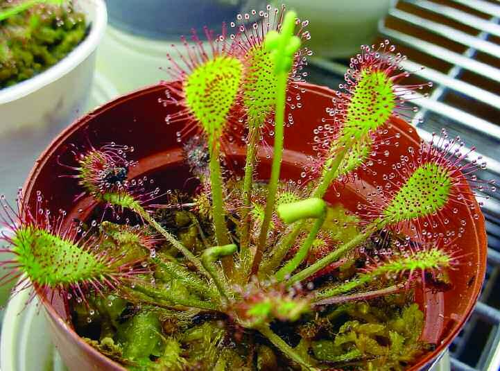 Вы не поверите, но это хищное растение – росянка