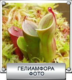 гелиамфора - фото