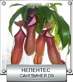 непентес сангвинея
