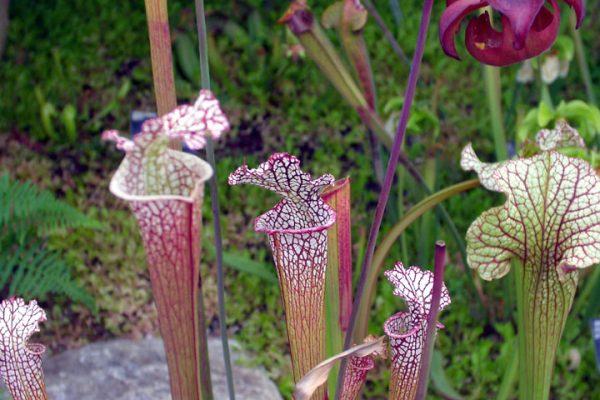 Саррацения Лейкофила - одна из самых красивых саррацений в природе.
